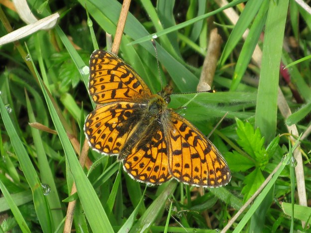 Small Pearl-bordered Fritillary with wings open