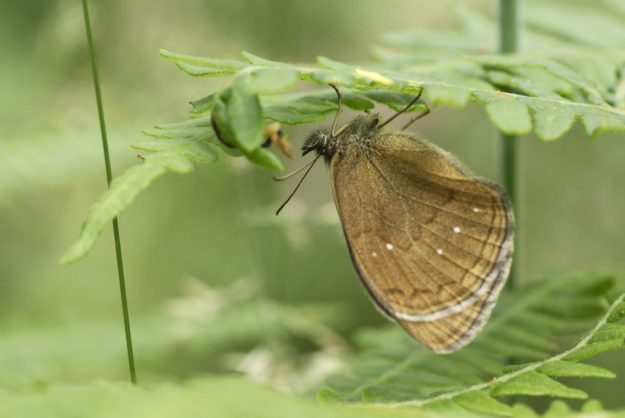 Ringlet ab. arete. Photo: Caroline Stringer