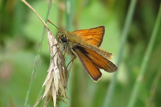 Small Skipper (male). Photo: Penny Hawes