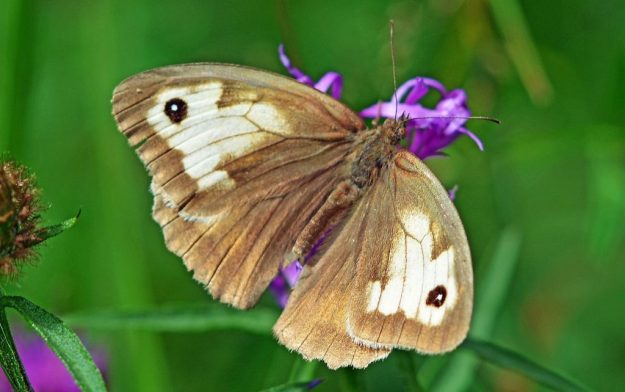 Meadow Brown aberration. Photo: Mark Pike