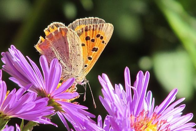 Small Copper. Photo: Penny Hawes