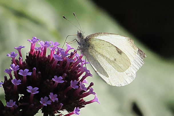 Small White. Photo: Penny Hawes