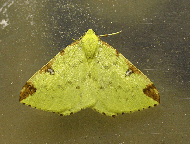 Picture of a bright yellow moth with brown markings on the edges of its wings.