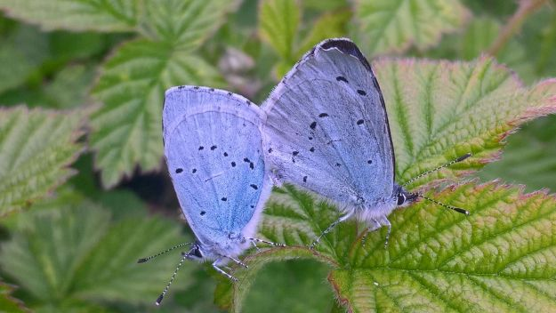 Two Holly Blues joined together, seen sideways on