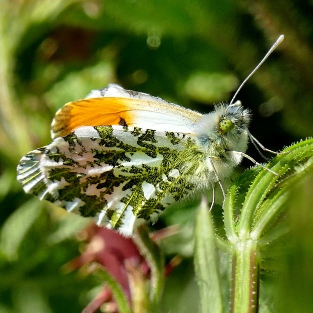 Side view of an Orange Tip, showing the under-wing mottling