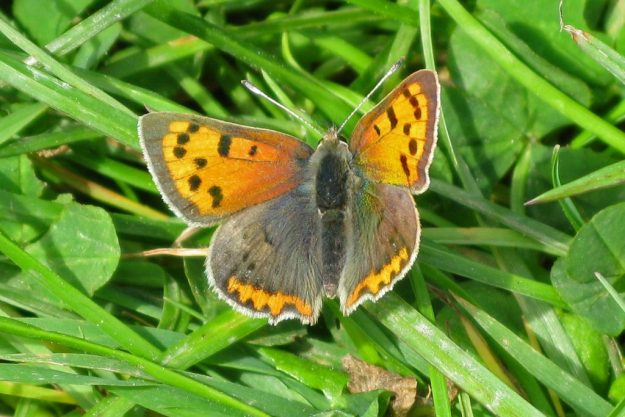 Small Copper. Photo: Brian Arnold