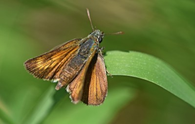 Orangey brown butterfly with paler crescent markings on forewings.