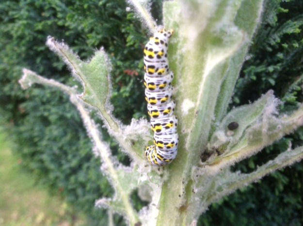 Large caterpillar with yellow and black markings on a pale green background