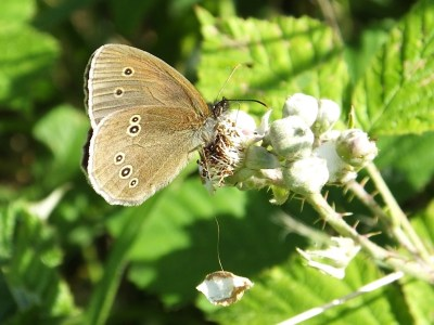 Brown butterfly with not very definite sptos on a bramble bud