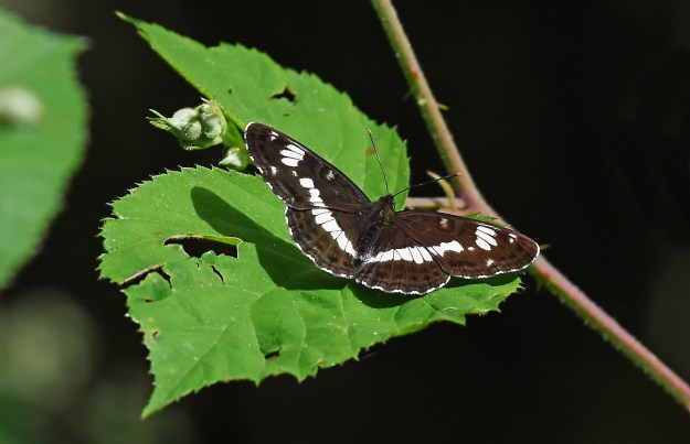 White Admiral with open wings on a leaf
