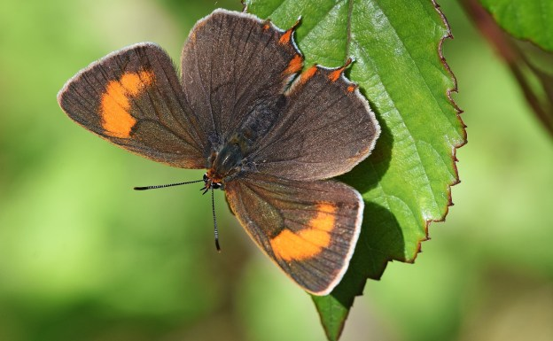 Brown Hairstreak with fully open wings, facing down the page