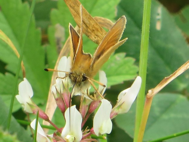 Head-on view of an Essex Skipper with its proboscis in a white clover flower