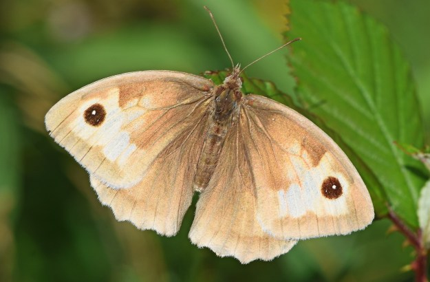Top view of a very pale Meadow Brown