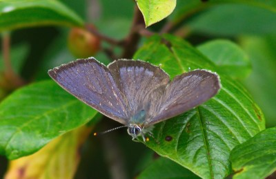 Butterfly with its wings open to show a purplish sheen and brown edges.