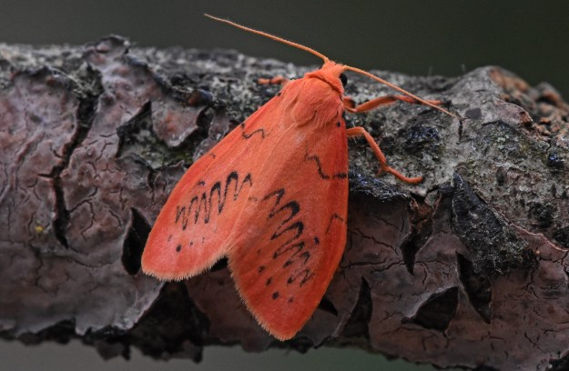 Bright pinky-orange moth on a piece of bark