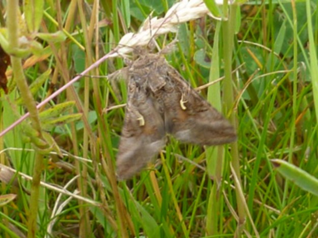 Brwon moth clinging to a grass stalk