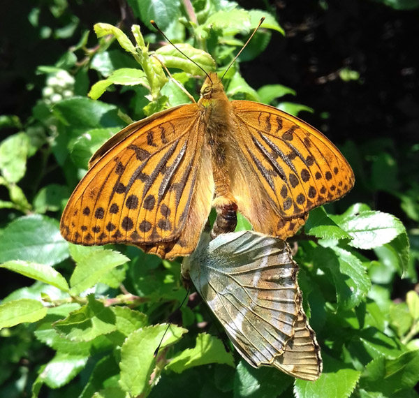 One Silver-washed Fritillary with open wings, and another with wings closed below it, joined in mating