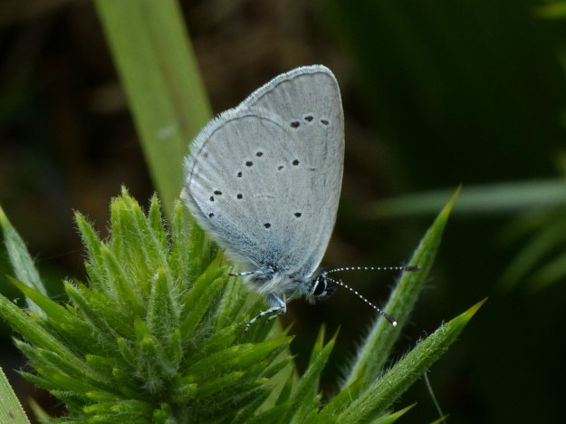 The very small Small Blue side view