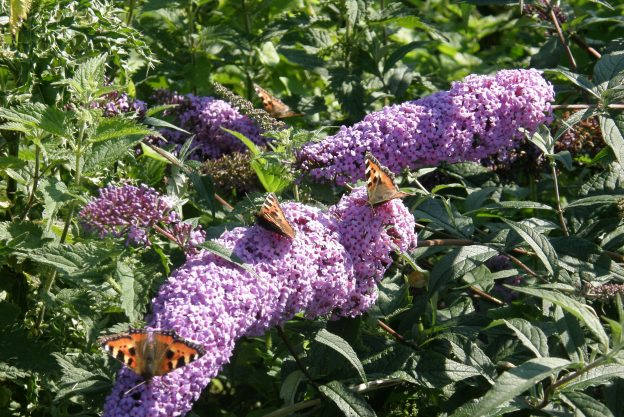 Small Tortoiseshells on buddleia