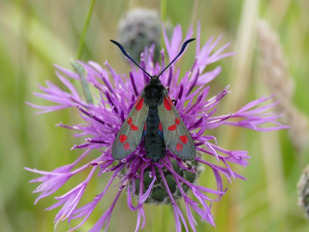 detailed top view of a Six-Spot Burnet Moth on a a flower