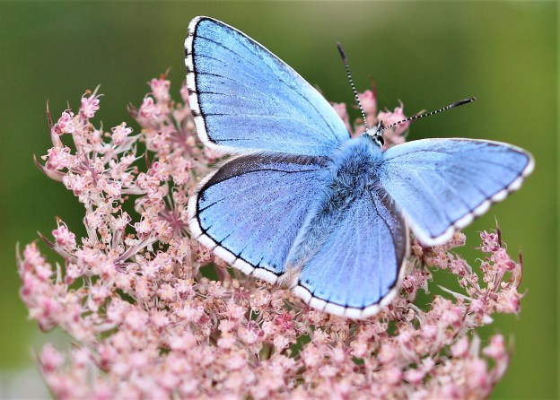 Bright blue butterfly on a pink flower
