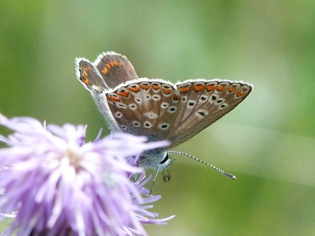 view of a female Brown Argus showing under-wings and a little of the fore-wing upperside