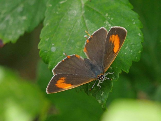 Brown Hairstreak with open wings, showing bright orange markings