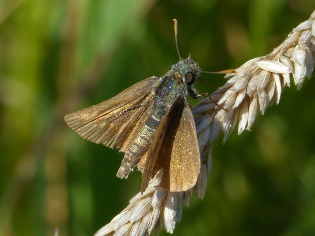 view of a very faded Male Lulworth Skipper resting on a grass seed head