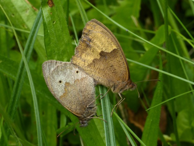 View of mating meadow brown showing distinctly different colourings between sexes.Photo shows both butterflies in heads down position with wings closed