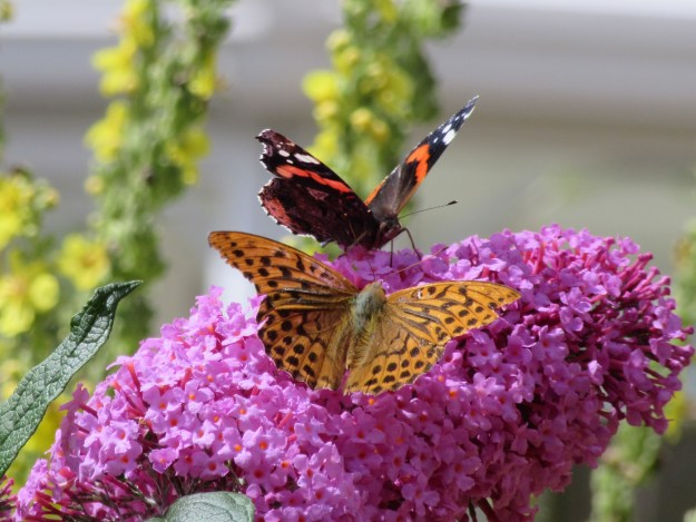 Red Admiral sharing a buddleia flower stalk with the much bigger Silver-washed Fritillary