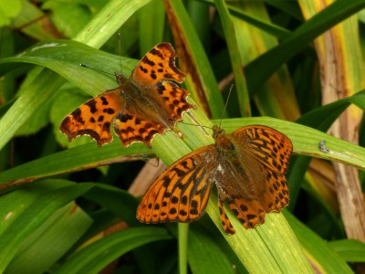 Two orange butterflies on a leaf, one bigger, the other with ragged wing edges