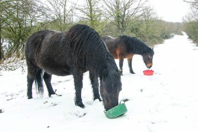 Two shaggy ponies eating out of feeding bowls with snow on the ground