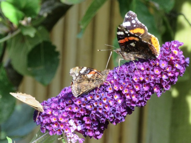 View of two Red Admirals and a Meadow Brown nectaring on a buddleia