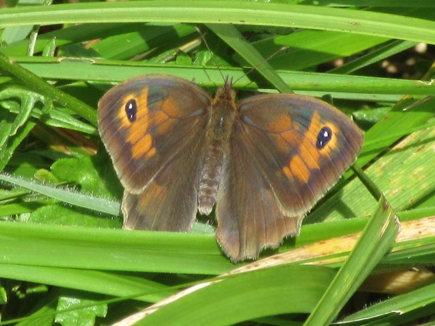 view of a fresh Meadow Brown resting with open wings showing the upper fore-wings
