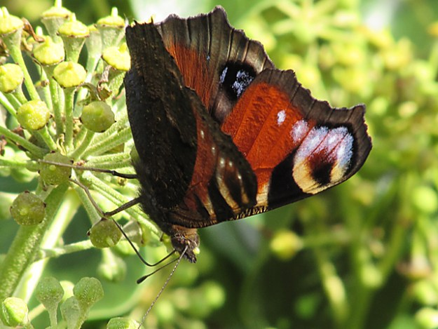 view of a half opened Peacock feeding on Ivy