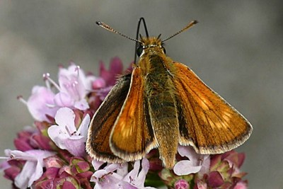 Orangey brown butterfly with lighter crescent of colour on forewings