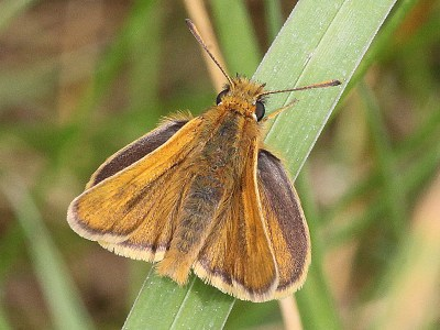 Butterfly in shades of brown sitting on a wide grass leaf