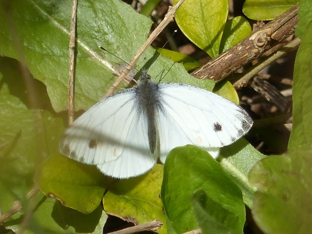 view of a Green-veined White resting on foliage showing upper fore and hind-wings