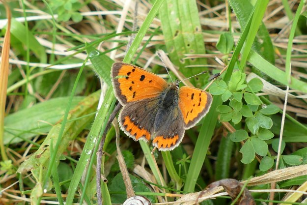 View of a Small Copper showiung uper Fore and hind-wings resting on grass