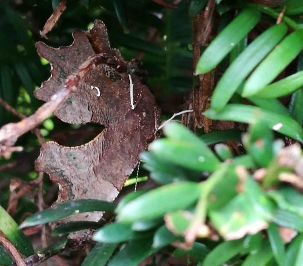 Dark butterfly well hidden in a bush