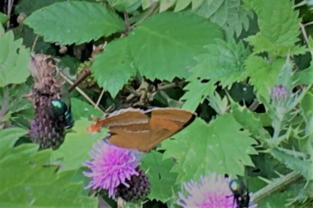 view of a Brown Hairstreak with closed wings resting on a purple flower