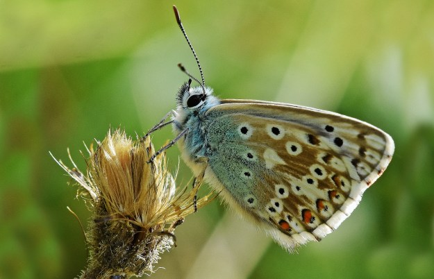 view of a Chalkhill blue showing  small silver studs as in a Silver-studded Blue