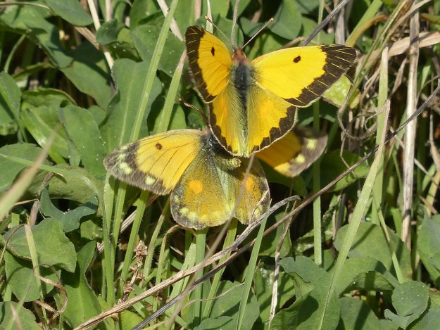 Clouded yellows with open wings and female in mating refusal pose