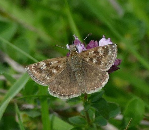 View of a Dingy Skipper nectaring on a purple flower with outspread wings