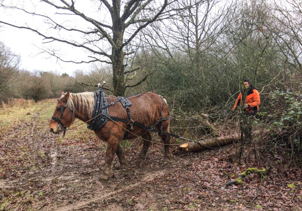 Pony dragging small tree trunk, with man behind him; the ground is very muddy