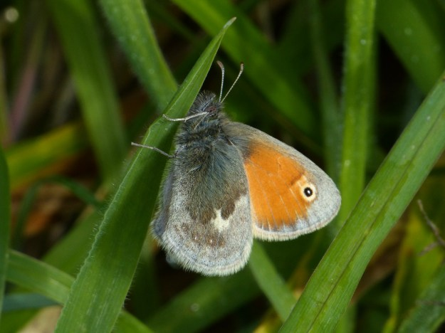 view of a Small Heathon a grass showing upper and under forewings