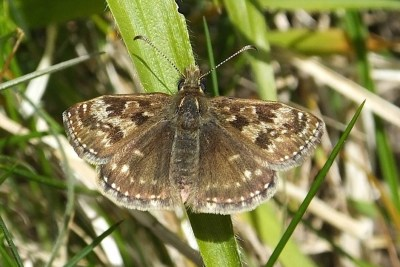 Top view of a dingy skipper against a grass background