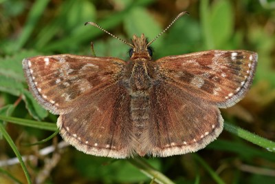 Mid brown butterfly with white markings.