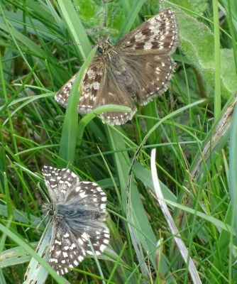 Two brown butterflies, one a warmer brown with less white on it