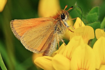 Orangey brown butterfly on bright yellow flower